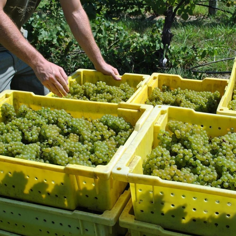 Winery Harvest Season in New Jersey