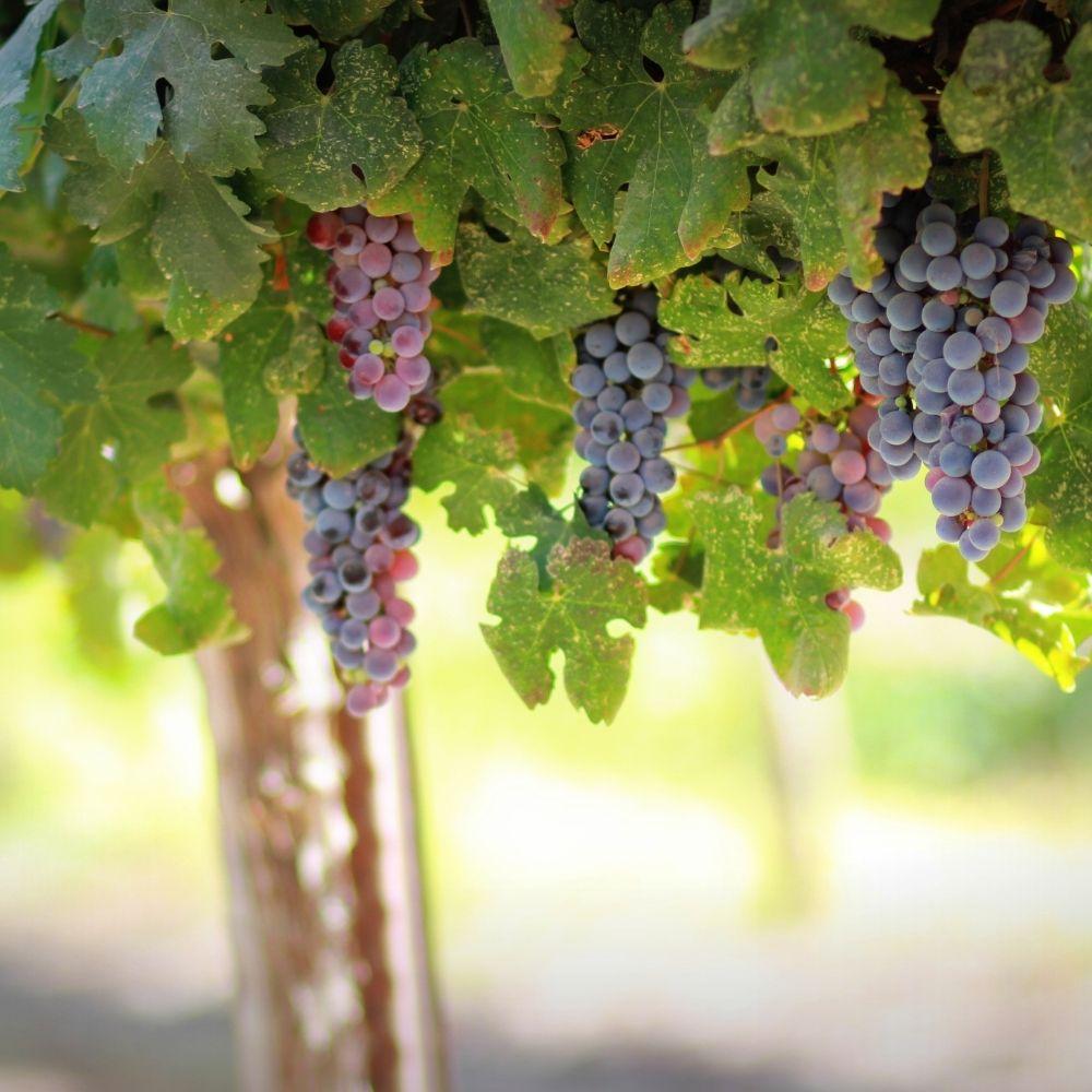 Ventimiglia Vineyards, Wantage